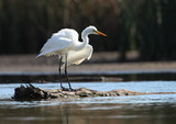 Great Egret - Australian Bird