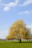 Willow in landscape