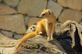 Fuchsmanguste - Yellow Mongoose 01