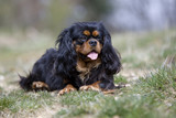 cvalier king charles black and tan allongé de face belle pose