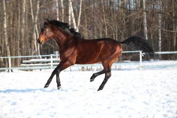 Trakehner stallion