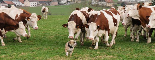 bulldog_vache