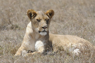 Lioness (Panthera leo), sleeps at Samburu park, Kenya