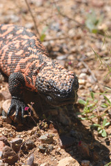 Vertical Gila Monster