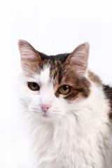 Gato isolado no fundo branco