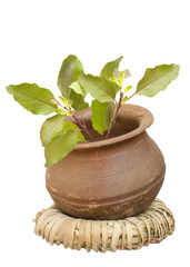 holy basil in a clay pot on a wicker ring