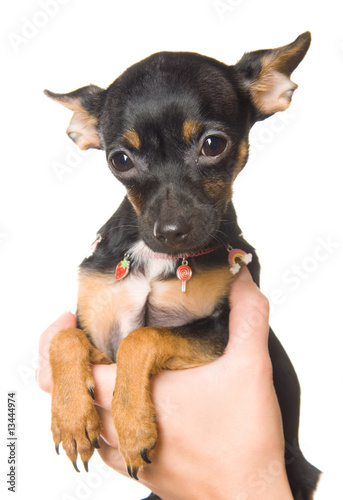 Adorable little toy-terrier isolated on white