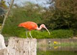Scarlet ibis. Park Avifauna, the Netherlands poster