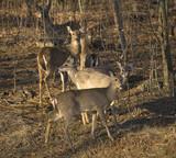 sundown deer poster
