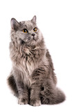 British Longhair Cat poster