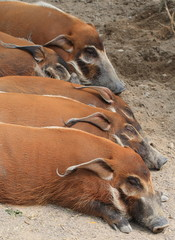 wild boars or pigs sleeping