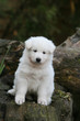 chiot berger blanc suisse assis sagement de face