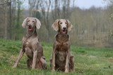 Fototapety deux braques de weimar adultes assis de face à la campagne