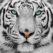 Quadro white tiger