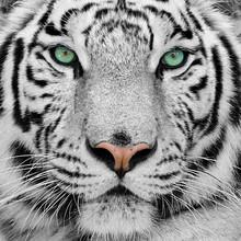 """Постер, картина, фотообои """"white tiger"""""""