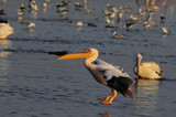 Great White Pelican (Pelecanus onocrotalus), lake Nakuru, Kenya