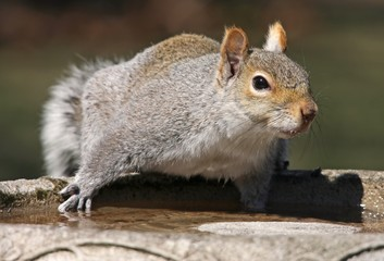 Squirrel taking a drink from bird bath