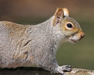 Close up of Eastern Gray Squirrel