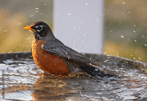 Adult Robin taking a bath