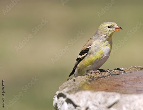 Female Goldfinch (Carduelis Tristas)