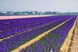 Purple and pink hyacinth fields