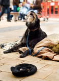 Homeless Begging dog howling at passers by. poster