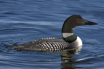 Common Loon XII (Gavia immer)