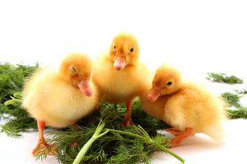 Cute little ducklings isolated and green grass