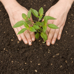 Hands pressing small tree and soil