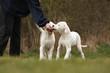 deux chiots dogues argentins reniflant la main du maître