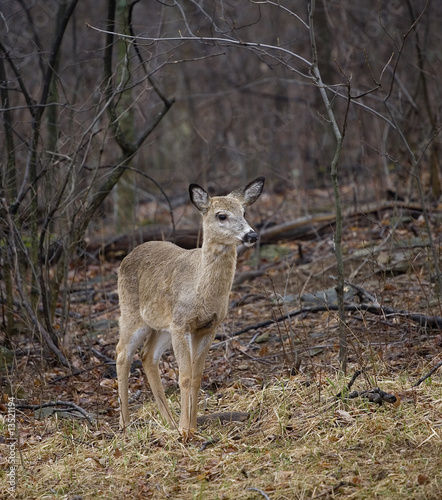 blonde whitetail deer