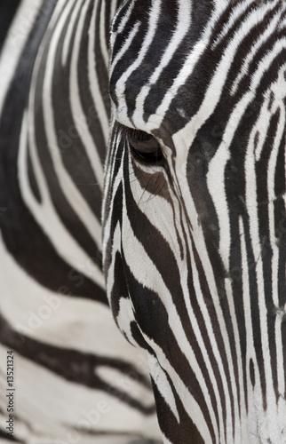 Grevy's Zebra 2560 Crop © Jose Gil