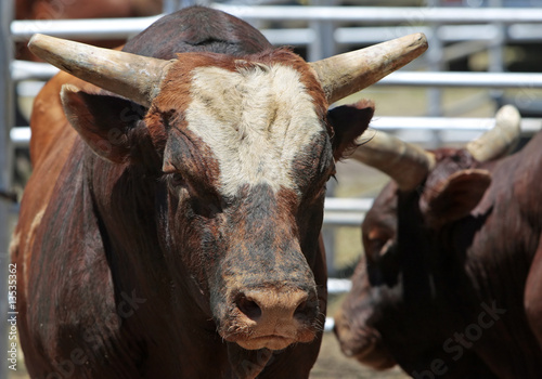 Canvas Stierenvechten Big Bad Bulls - Agriculture, Attitude, Animal Image