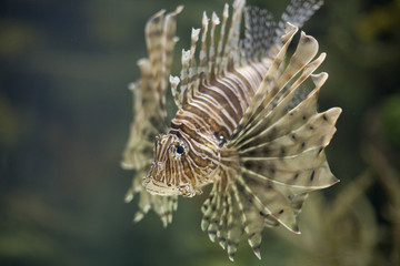 Lionfish 9517