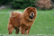 pose fiere immobile et statique du chow chow adulte