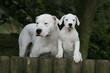 famille dogue argentin dans les bois