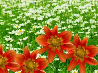 Camomile flowers the garden decorative