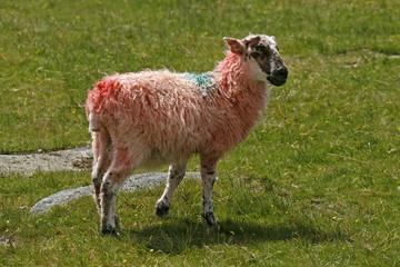 Rotes Schaf, Dartmoor, Devon, Cornwall, Südwestengland