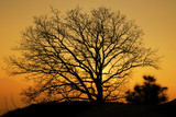 Quercia al tramonto poster
