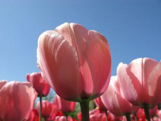 Rosa Tulpen vor blauem Himmel