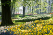 April light on daffodils and beechtrees in spring in park