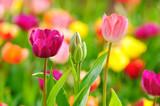 Fototapeta natura - wiosna - Kwiat