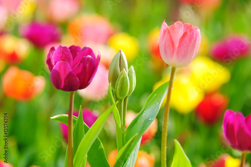 Beautiful spring tulips - 13576354