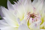 Fototapeta white macro dahlia with white and yellow