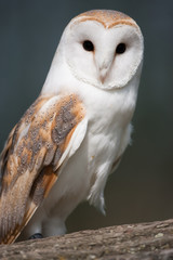 Barn Owl on perch