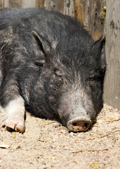 Black pig sleeping on the sun
