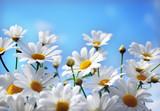 Fototapete Sommer - Margerite - Blume