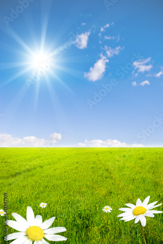 Green field with chamomile  flowers and sunray