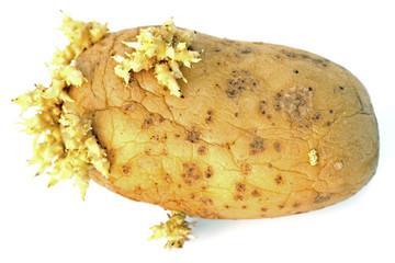 vieille peau flétrie et ridée d'une pomme de terre germée