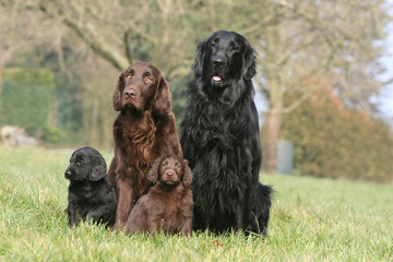 portrait de famille de flat coated retriever assis de face